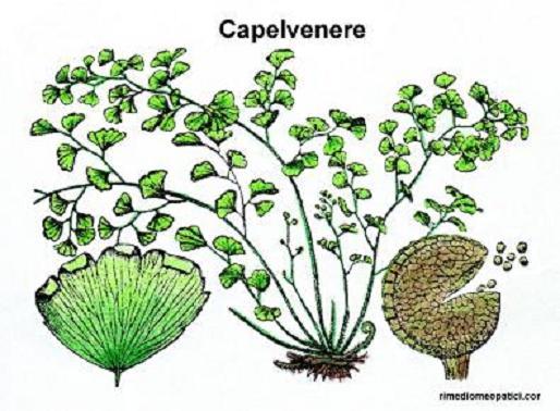 Ritorna la voce - image CAPELVENERE on http://rimediomeopatici.com
