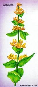 Se l'alito è pesante - image GENZIANA3-132x300 on http://rimediomeopatici.com