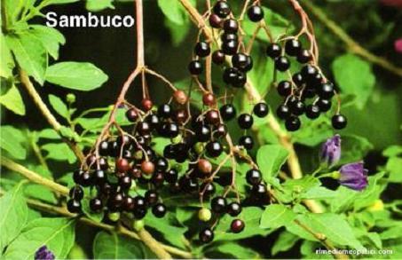 Sollievo per lombalgie e coliche - image SAMBUCO1 on http://rimediomeopatici.com