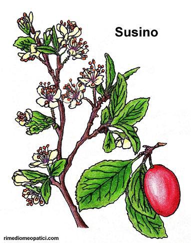 Ritorna la voce - image Susino on http://rimediomeopatici.com