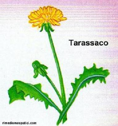 Sollievo per lombalgie e coliche - image TARASSACO3 on http://rimediomeopatici.com