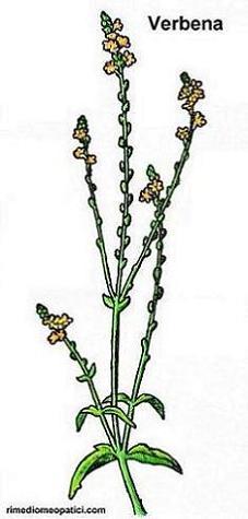 Sollievo per lombalgie e coliche - image Verbena5 on http://rimediomeopatici.com