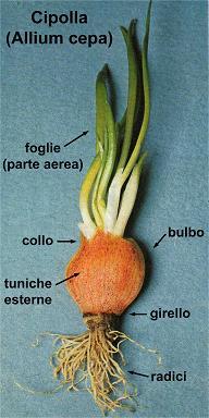 Cipolla