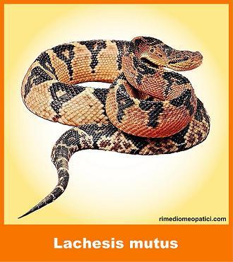 Lachesis mutus