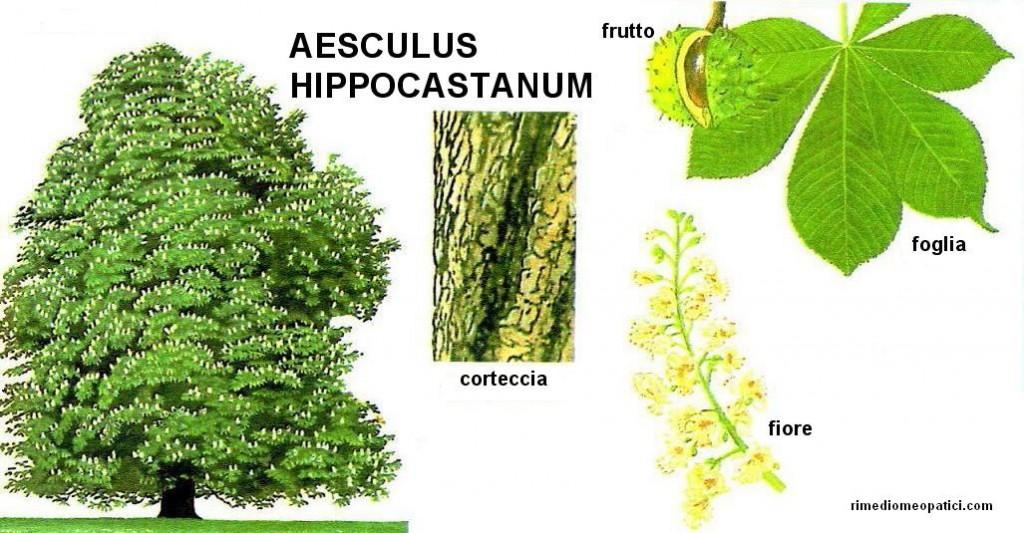 Aesculus hippocastanum - image AESCULUS_HIPPOCASTANUM2-1024x533 on https://rimediomeopatici.com