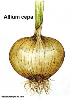 Allium cepa - image ALLIUM_CEPA2 on https://rimediomeopatici.com