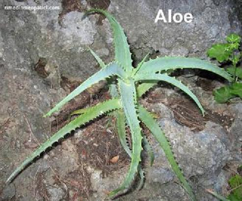Per scottature-punture d'insetti - image ALOE2 on https://rimediomeopatici.com