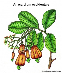 Anacardium orientale - image ANACARDIUM-OCCIDENTALE-252x300 on https://rimediomeopatici.com