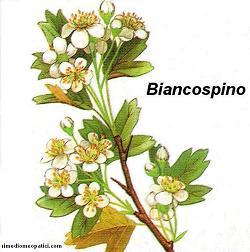 Biancospino - Bistorta - image BIANCOSPINO4 on https://rimediomeopatici.com