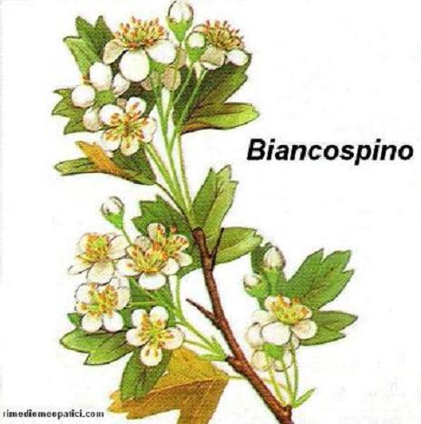 Controlliamo l'ipertensione - image BIANCOSPINO5 on https://rimediomeopatici.com