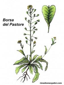 Borragine - Borsa del pastore - image BORSA-DEL-PASTORE-225x300 on https://rimediomeopatici.com