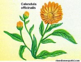 Calendula - image CALENDULA2 on https://rimediomeopatici.com