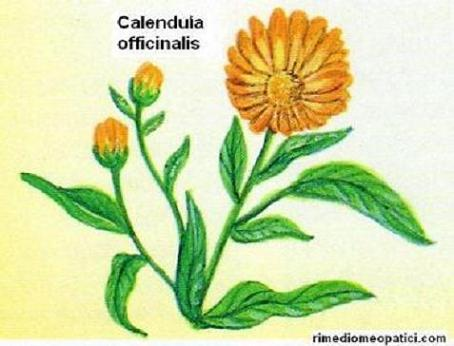 Pelle sempre bella - image CALENDULA3 on https://rimediomeopatici.com