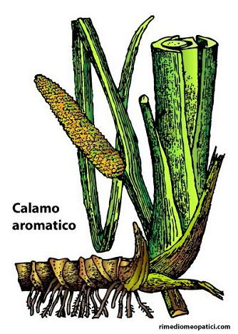 Controlliamo l'ipertensione - image Calamo-aromatico on https://rimediomeopatici.com