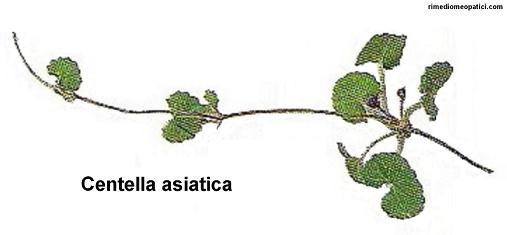Emorroidi e vene varicose ko - image Centella-asiatica on https://rimediomeopatici.com