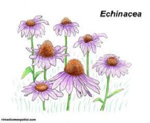 Echinacea - Edera comune - image ECHINACEA1 on https://rimediomeopatici.com