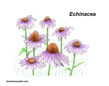 Per scottature-punture d'insetti - image ECHINACEA5 on https://rimediomeopatici.com
