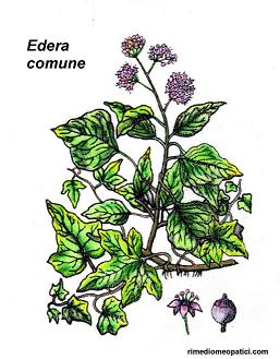 Echinacea - Edera comune - image EDERA-COMUNE1 on https://rimediomeopatici.com
