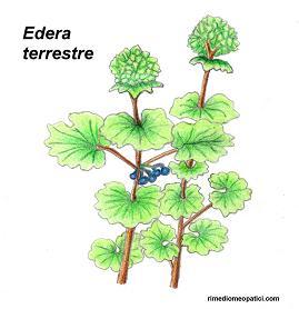 Edera terrestre - Eleuterococco - image EDERA-TERRESTRE1 on https://rimediomeopatici.com