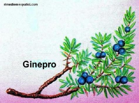 Alloro - image GINEPRO2 on https://rimediomeopatici.com