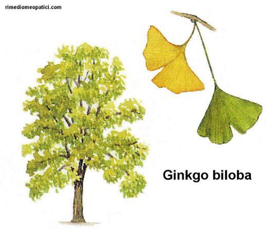 Emorroidi e vene varicose ko - image Ginkgo-biloba on https://rimediomeopatici.com