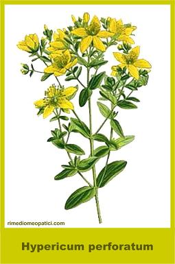Hypericum - image HYPERICUM-PERFORATUM_6.51 on https://rimediomeopatici.com