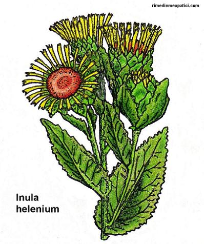 Via raffreddore-tosse-influenza-ecc. - image Inula-helenium on https://rimediomeopatici.com