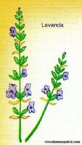 Per scottature-punture d'insetti - image LAVANDA4 on https://rimediomeopatici.com