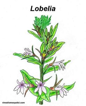 Liquirizia - Lobelia - image LOBELIA on https://rimediomeopatici.com