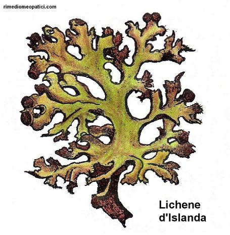 Digestione facile - image Lichene-dIslanda1 on https://rimediomeopatici.com