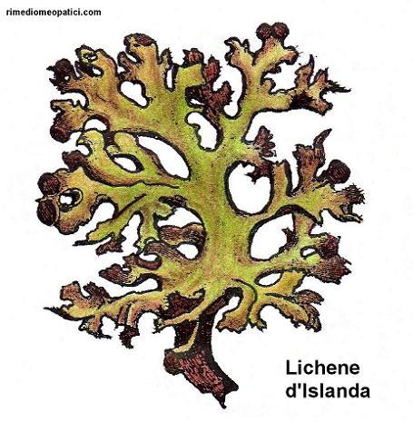 Alopecia Calvizie - image Lichene-dIslanda3 on https://rimediomeopatici.com