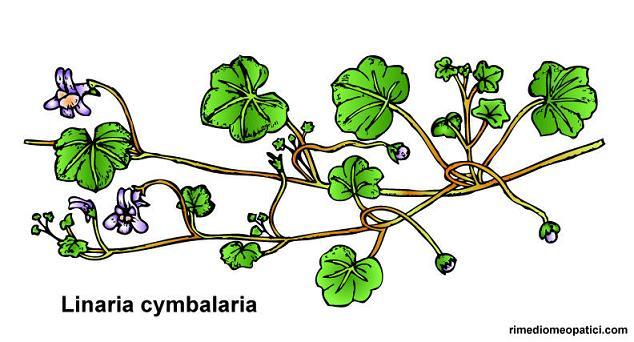 Emorroidi e vene varicose ko - image Linaria-cymbalaria1 on https://rimediomeopatici.com