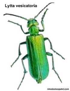 Cantharis - image Lytta-vesicatoria_6 on https://rimediomeopatici.com