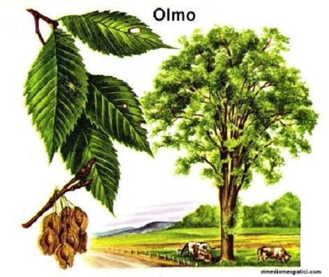 Alloro - image OLMO1 on https://rimediomeopatici.com