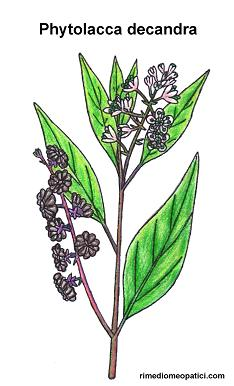 Phytolacca decandra - image PHYTOLACCA4 on https://rimediomeopatici.com
