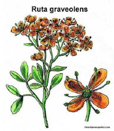 Vediamoci chiaro - image RUTA-GRAVEOLENS on https://rimediomeopatici.com