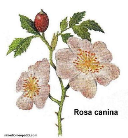 Ok con depurativi e diuretici - image Rosa-canina2 on https://rimediomeopatici.com
