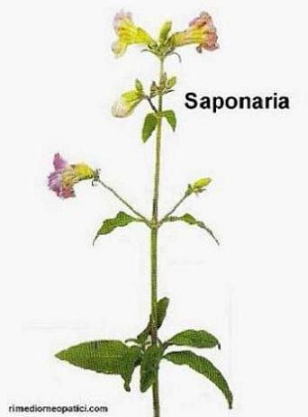 Ok con depurativi e diuretici - image Saponaria4 on https://rimediomeopatici.com