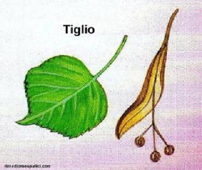 Abbasso la febbre - image TIGLIO1 on https://rimediomeopatici.com