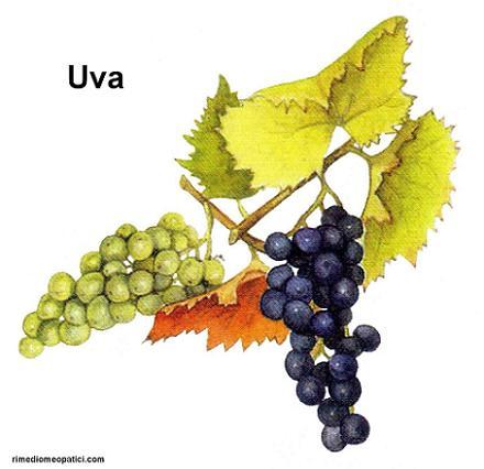 Ok con depurativi e diuretici - image Uva1 on https://rimediomeopatici.com